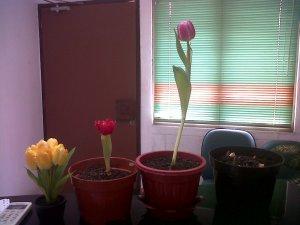 dari ki- ka: tulip kuning (bunga imitasi), tulip asli merah, tulip pink..d an yg paling kanan saya abru tanam tgl 2 April 2014
