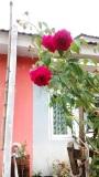 Old Rose, Rose DeRescht