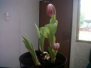 satu umbi 2 bunga