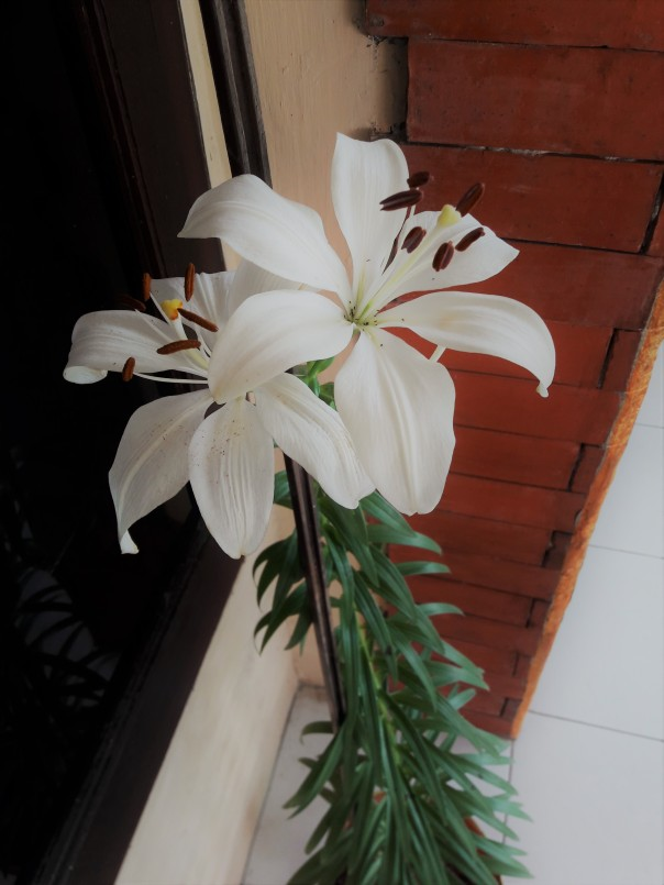 Asiatic lily - white-1